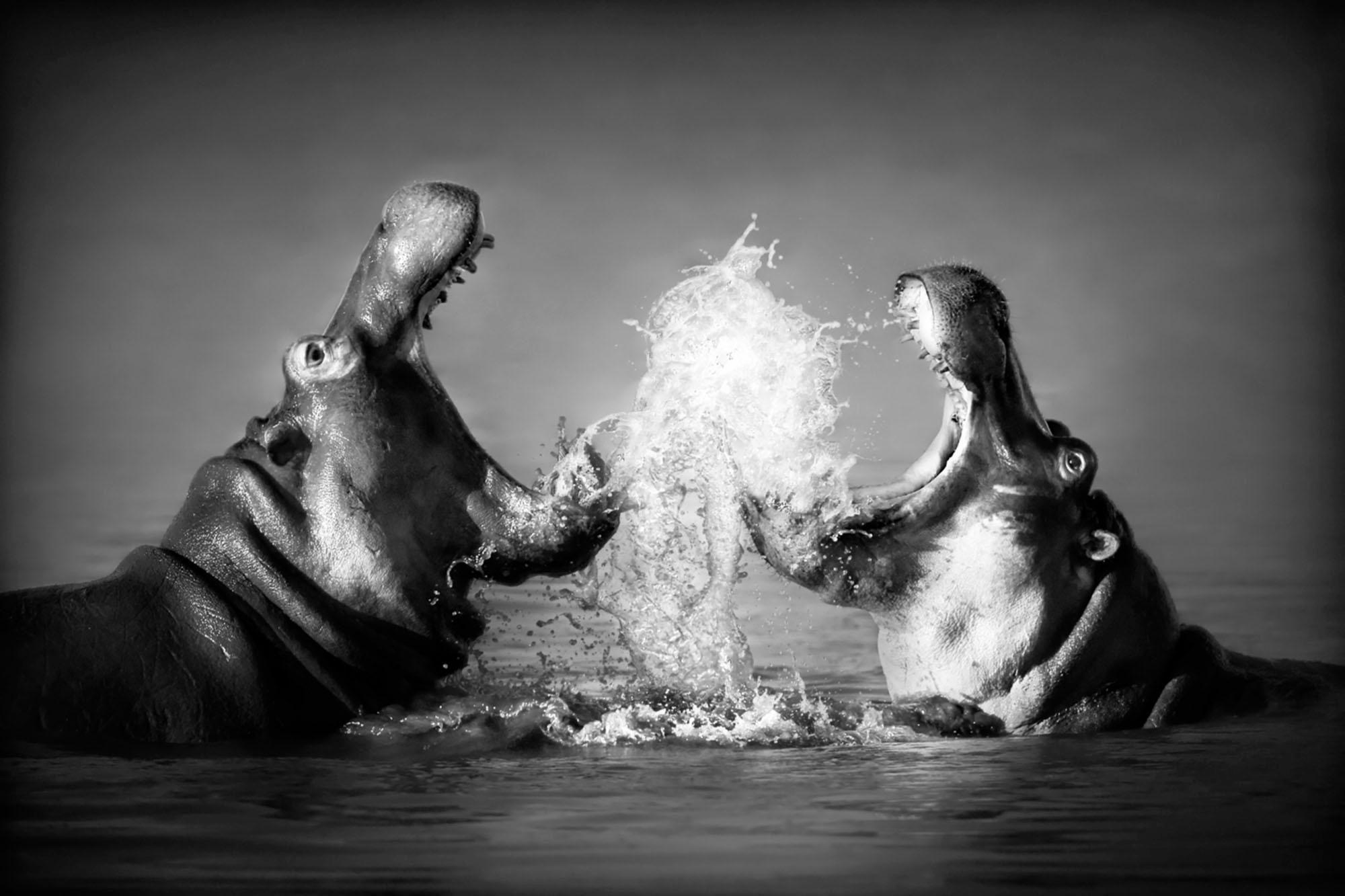 Acrylglasbild »Nilpferd«