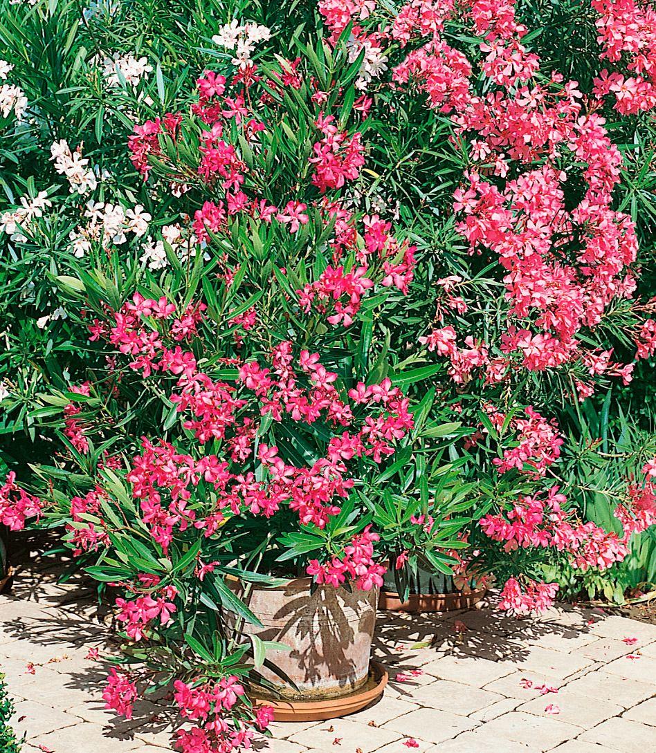 beet balkonpflanze oleander schwab versand. Black Bedroom Furniture Sets. Home Design Ideas