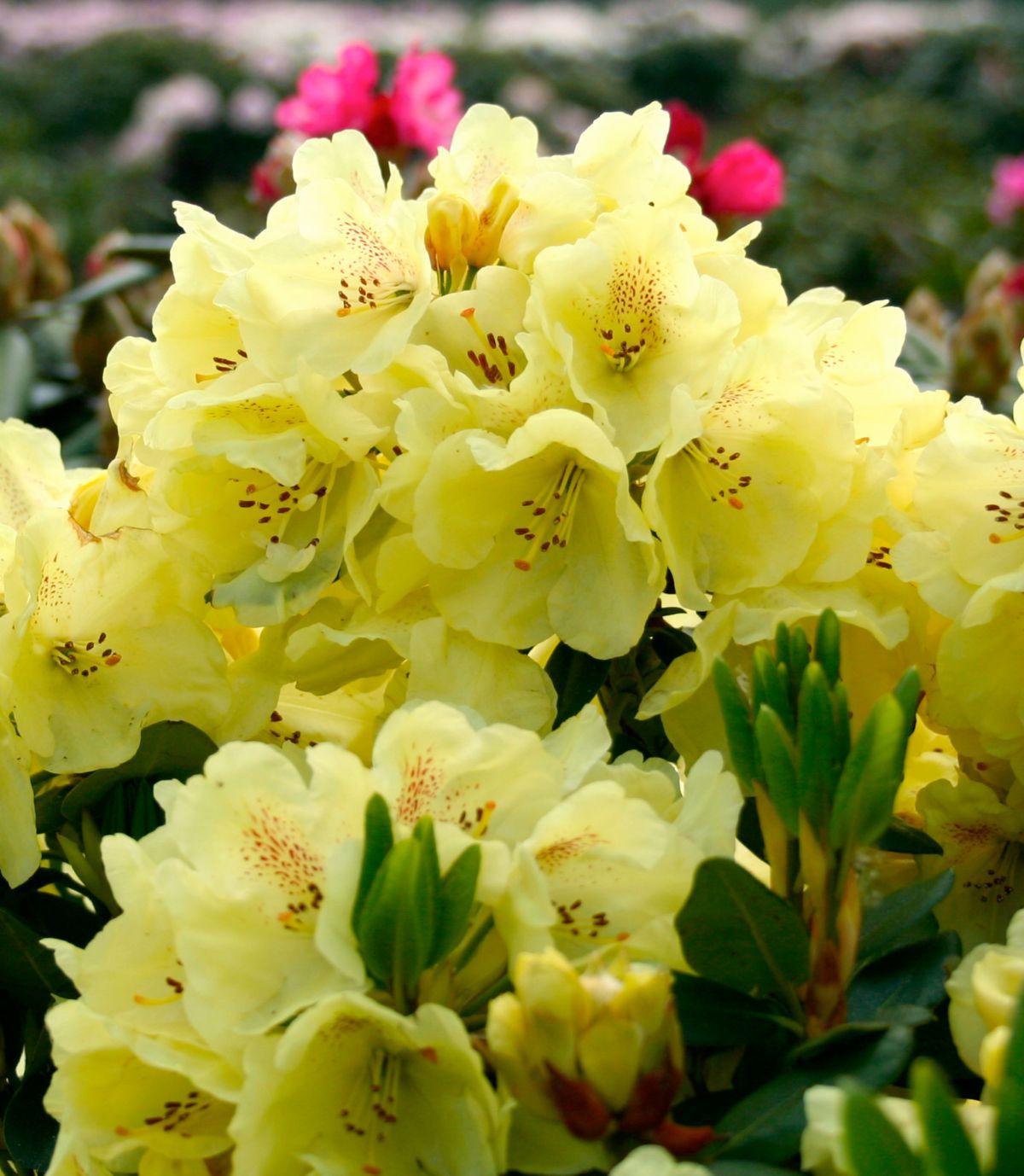 Rhododendron »Goldbukett®«