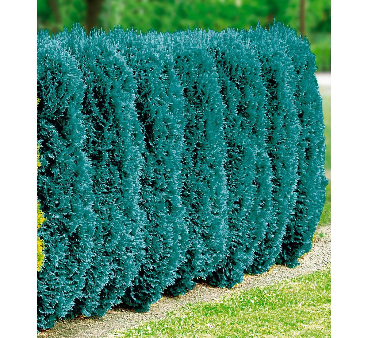 Hecke »Blaue Scheinzypresse«