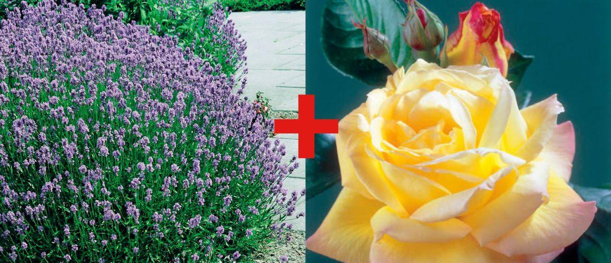 Set: Beetrose »Rose Peace & Lavendel«