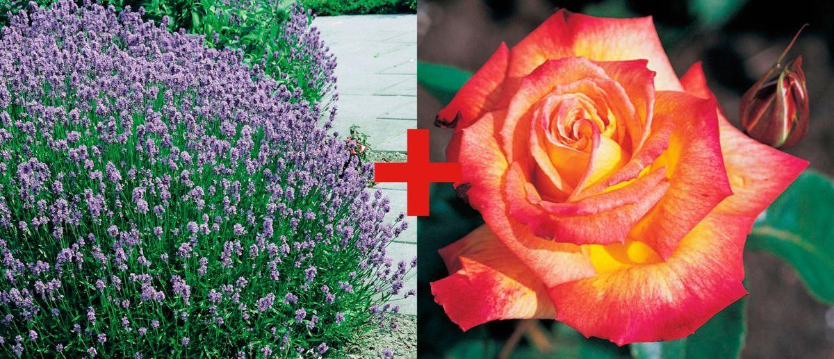 Set: Beetrose »Rose Rumba & Lavendel«