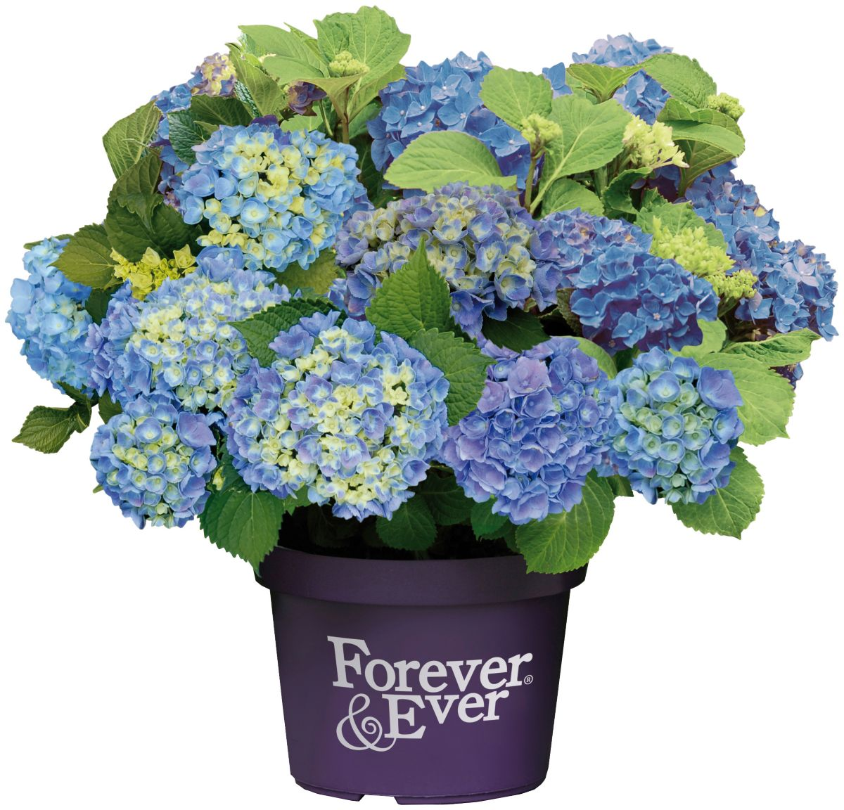 BCM Hortensie »Forever and Ever Blue«, Höhe: 30...