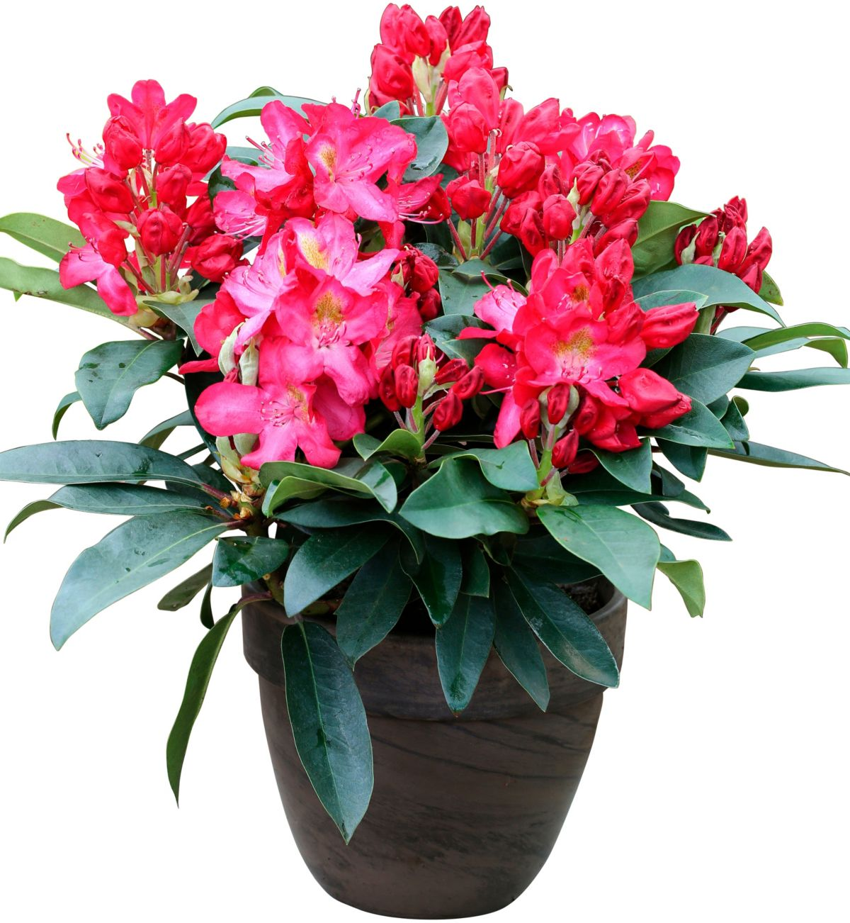 Rhododendron »Junifeuer«
