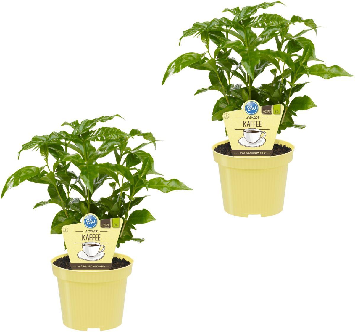 DOMINIK Zimmerpflanze »Kaffee-Pflanzen«, Höhe: ...