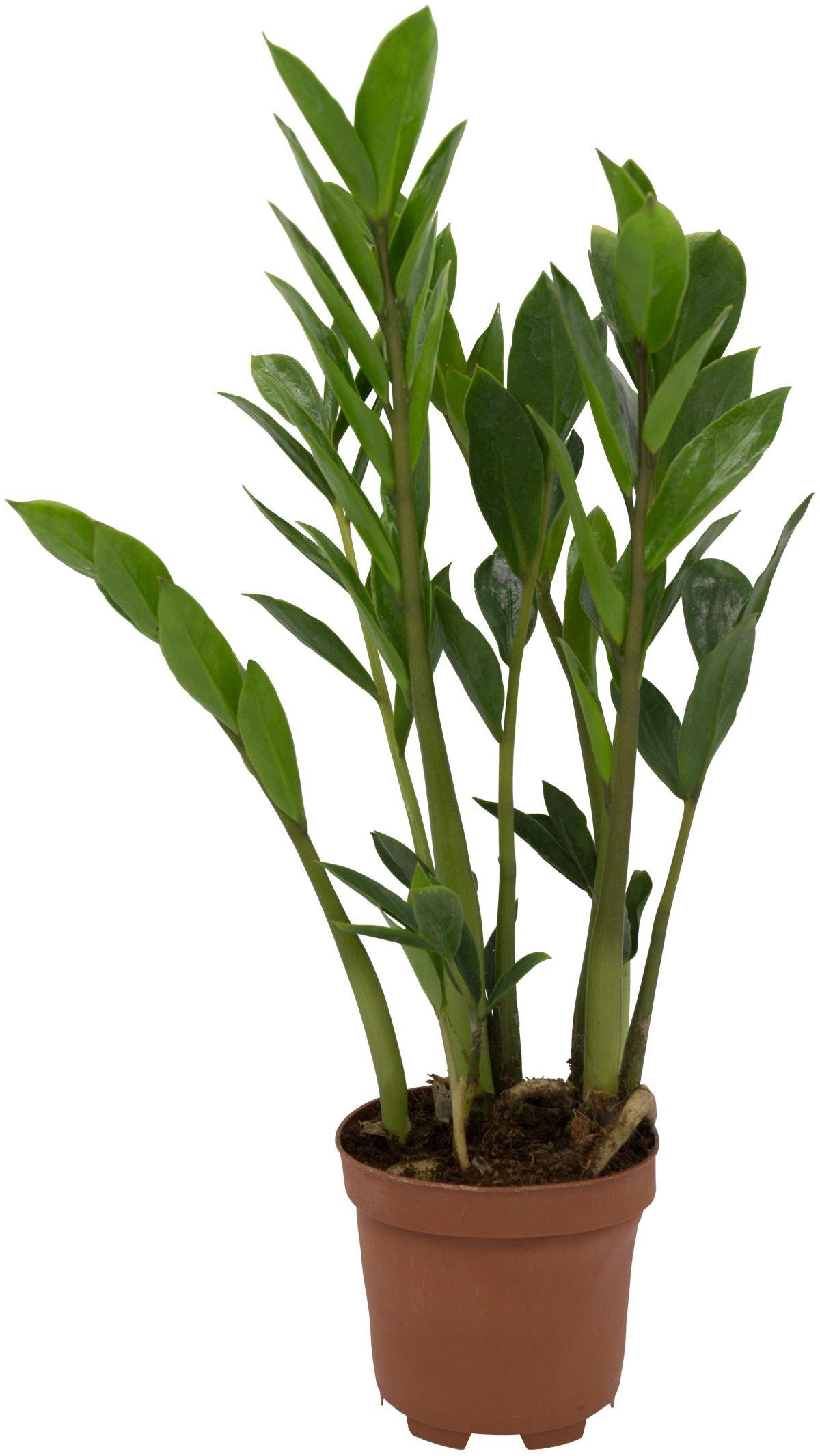 Zimmerpflanze »Zamioculcas«, Höhe: 20 cm, 1 Pfl...