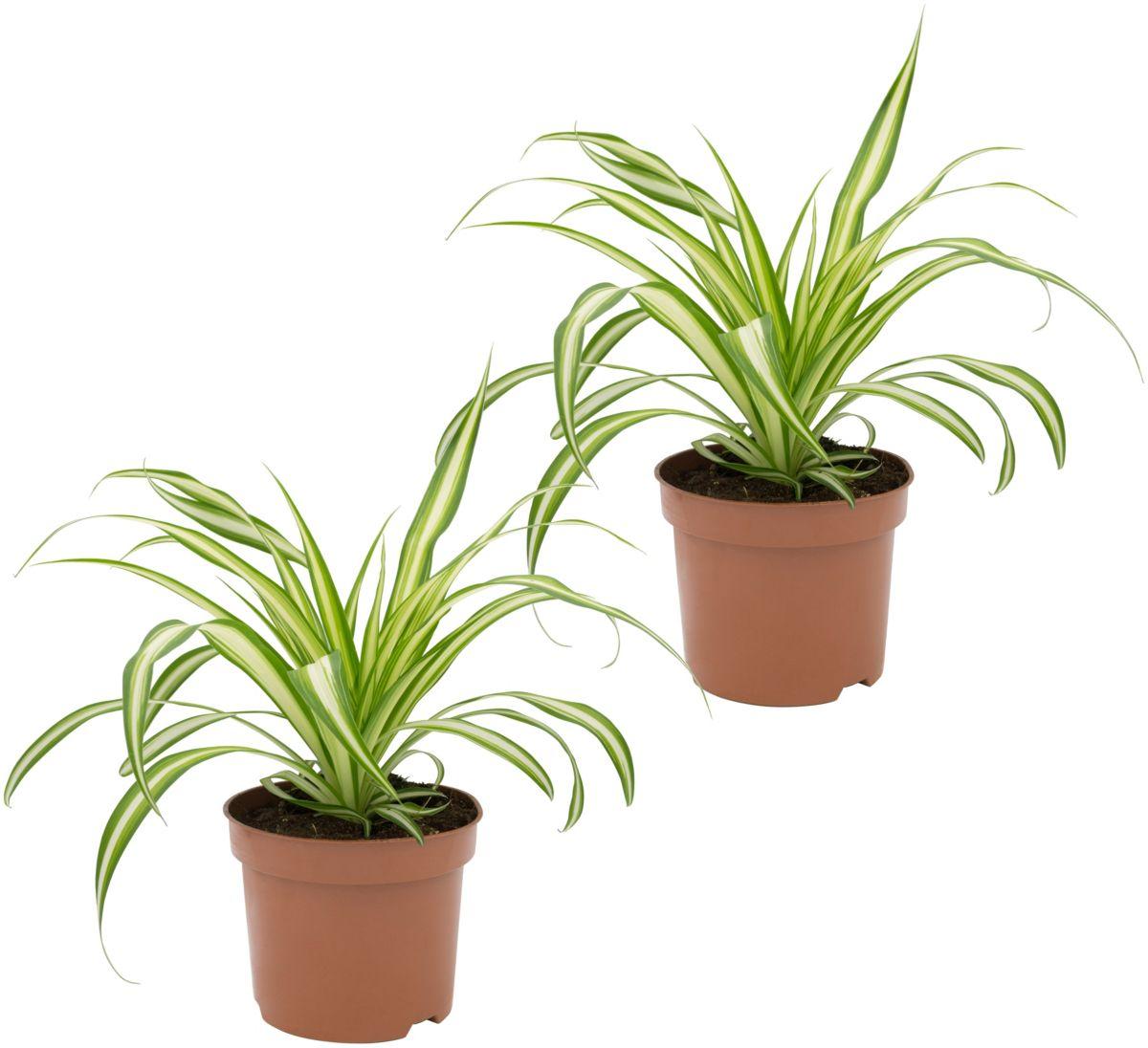 Zimmerpflanze »Grünlilien«, Höhe: 15 cm, 2 Pfla...