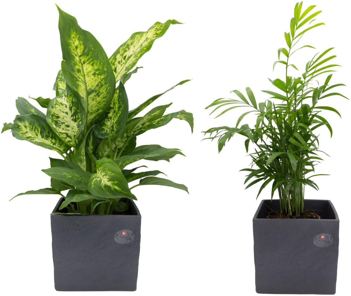 Zimmerpflanze »Palmen-Set«, Höhe: 30 cm, 2 Pfla...