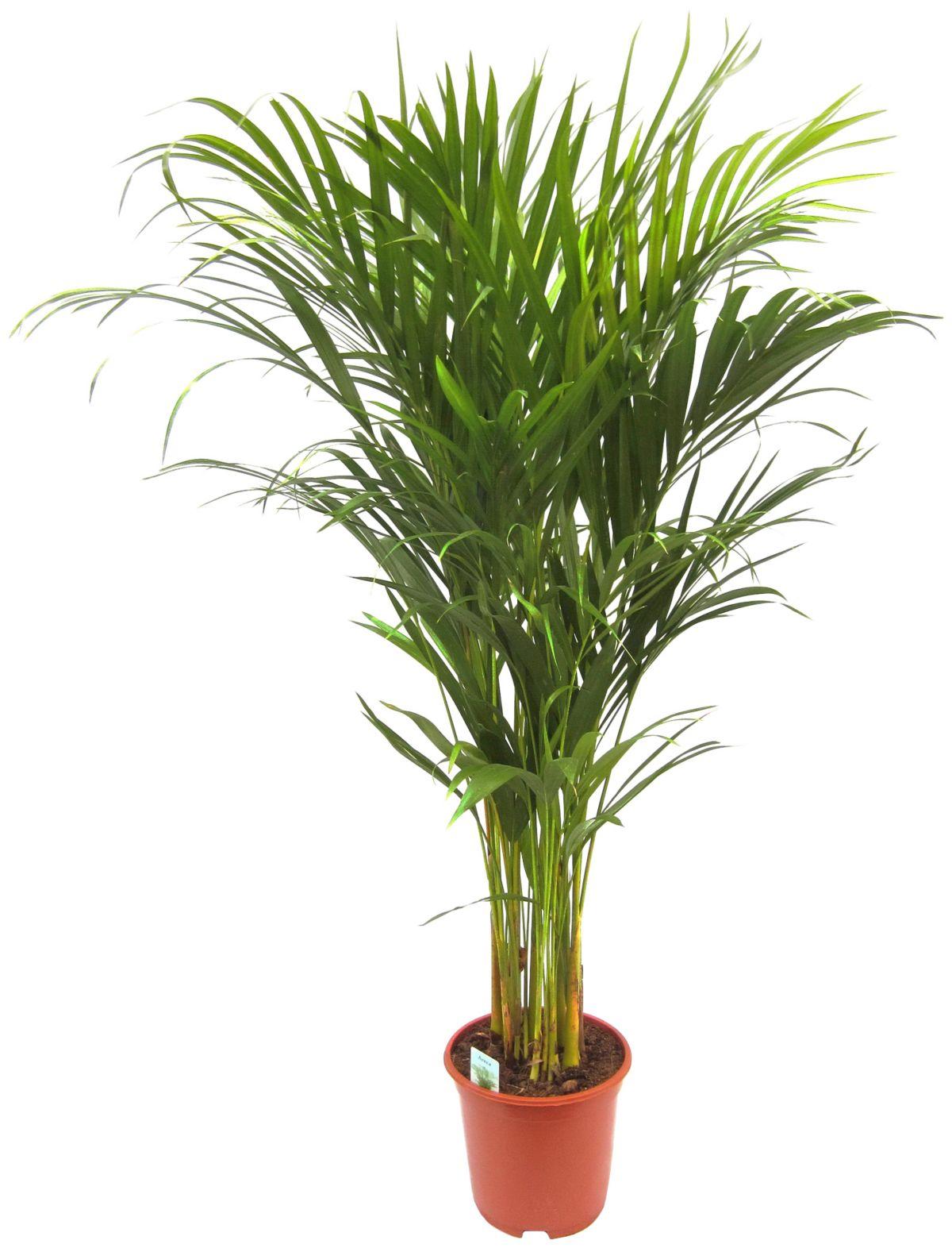 DOMINIK Zimmerpflanze »Goldfruchtpalme«, Höhe: ...
