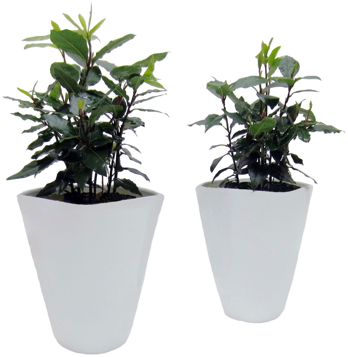 Zimmerpflanze »Gewürzlorbeer«, Höhe: 15 cm, 2 P...