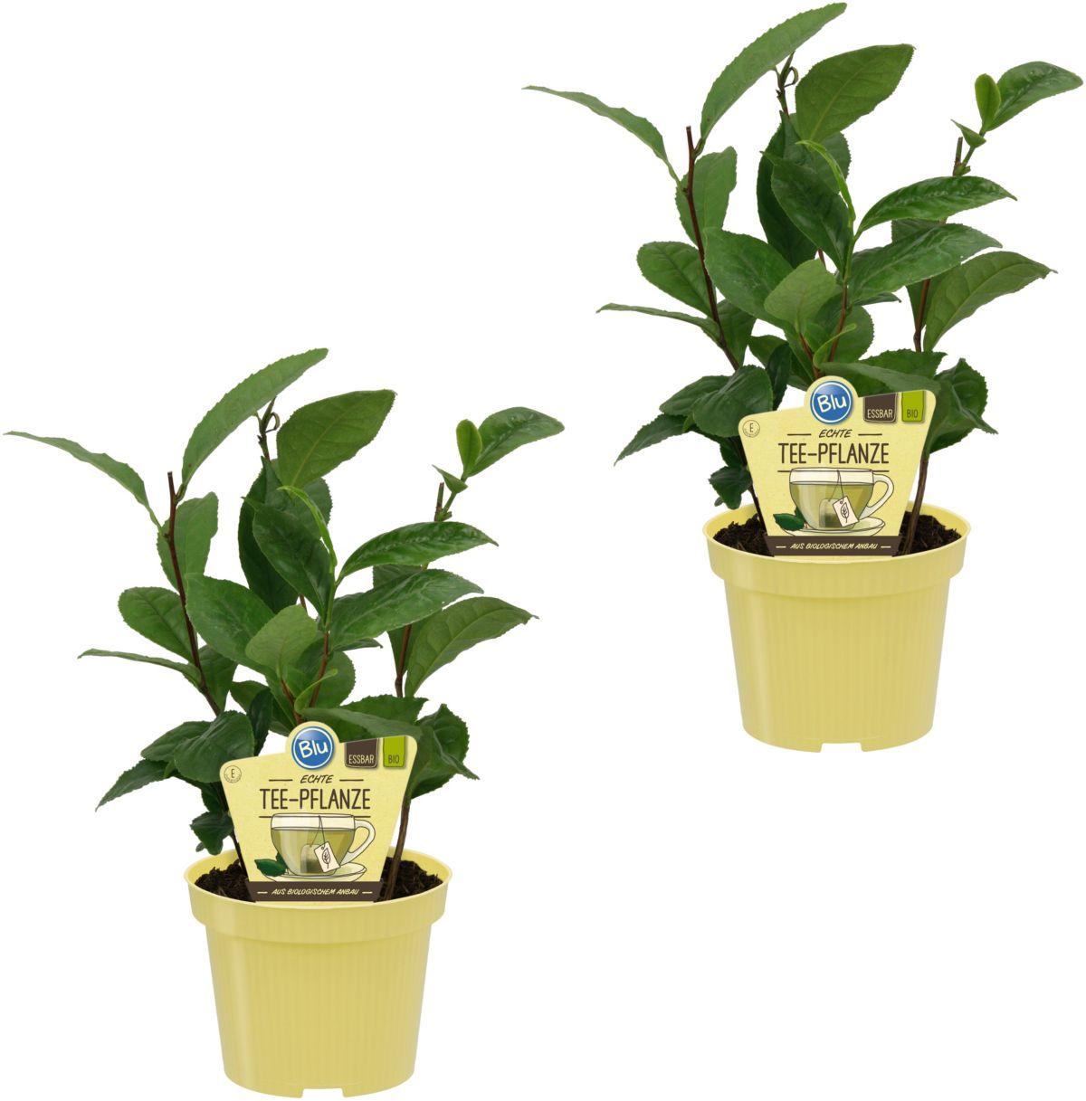 DOMINIK Zimmerpflanze »Tee-Pflanzen«, Höhe: 20 ...