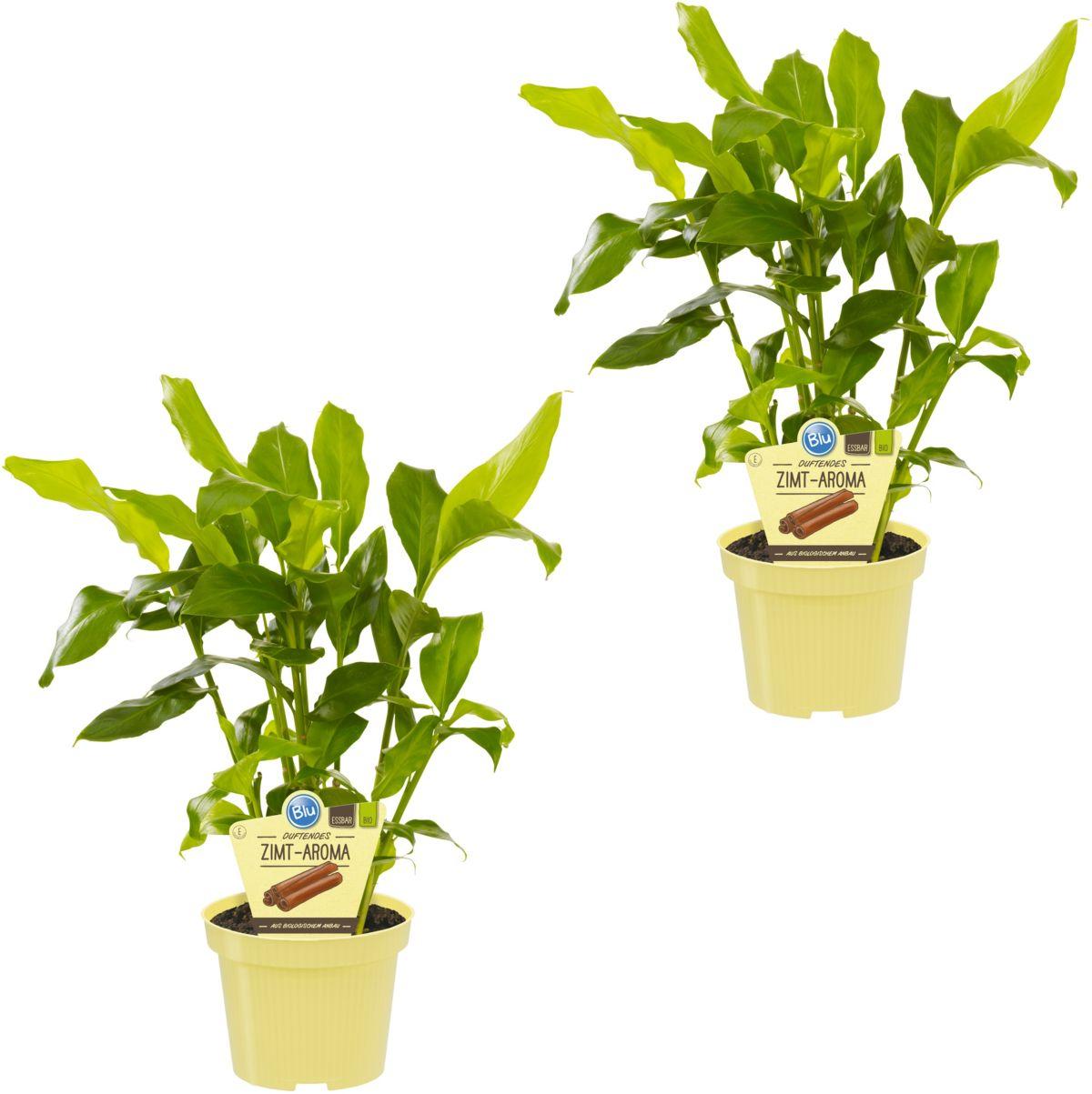 Zimmerpflanze »Zimtaroma«, Höhe: 15 cm, 2 Pflanzen