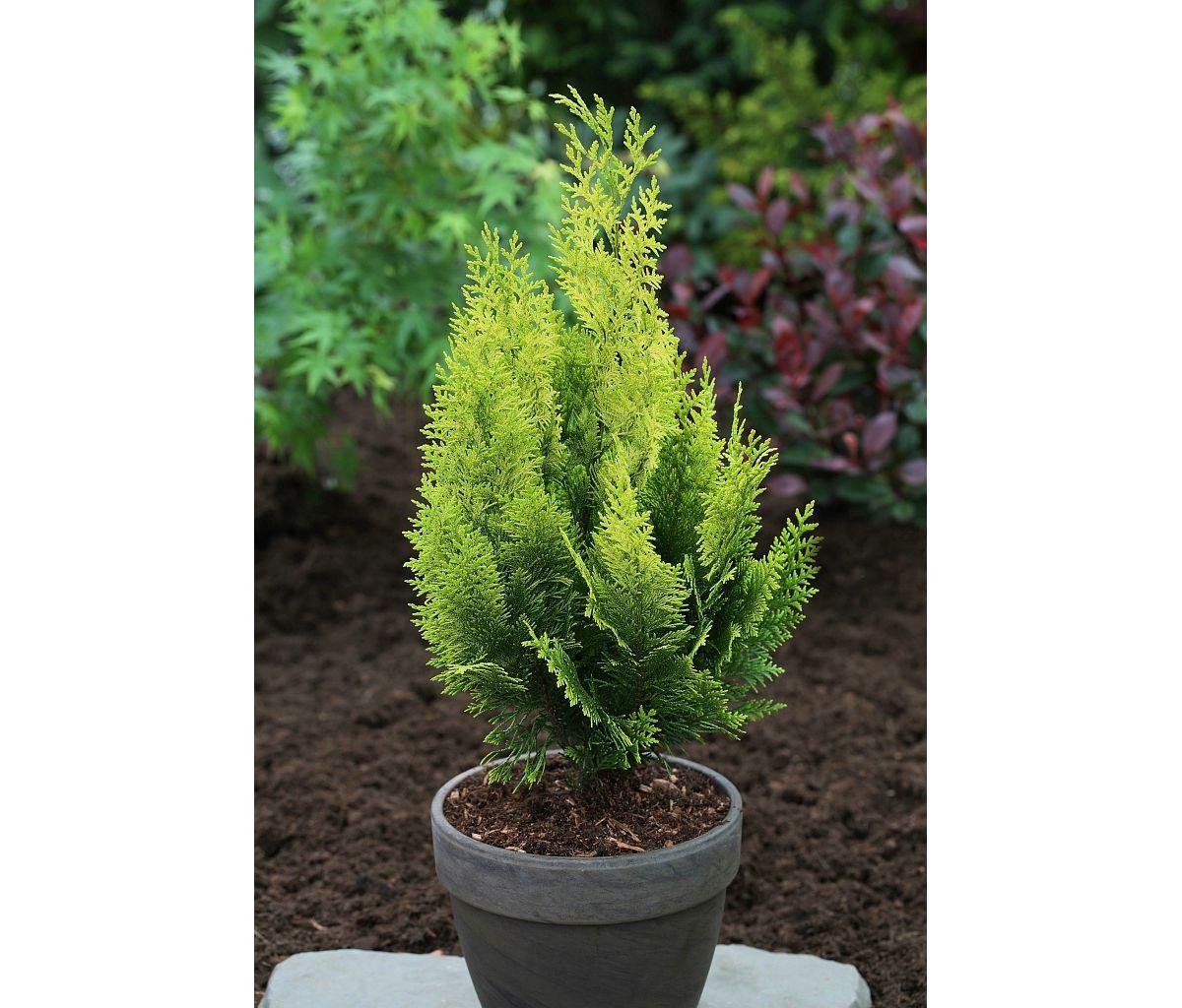 Hecke »Gelbe Scheinzypresse«, 4 Pflanzen