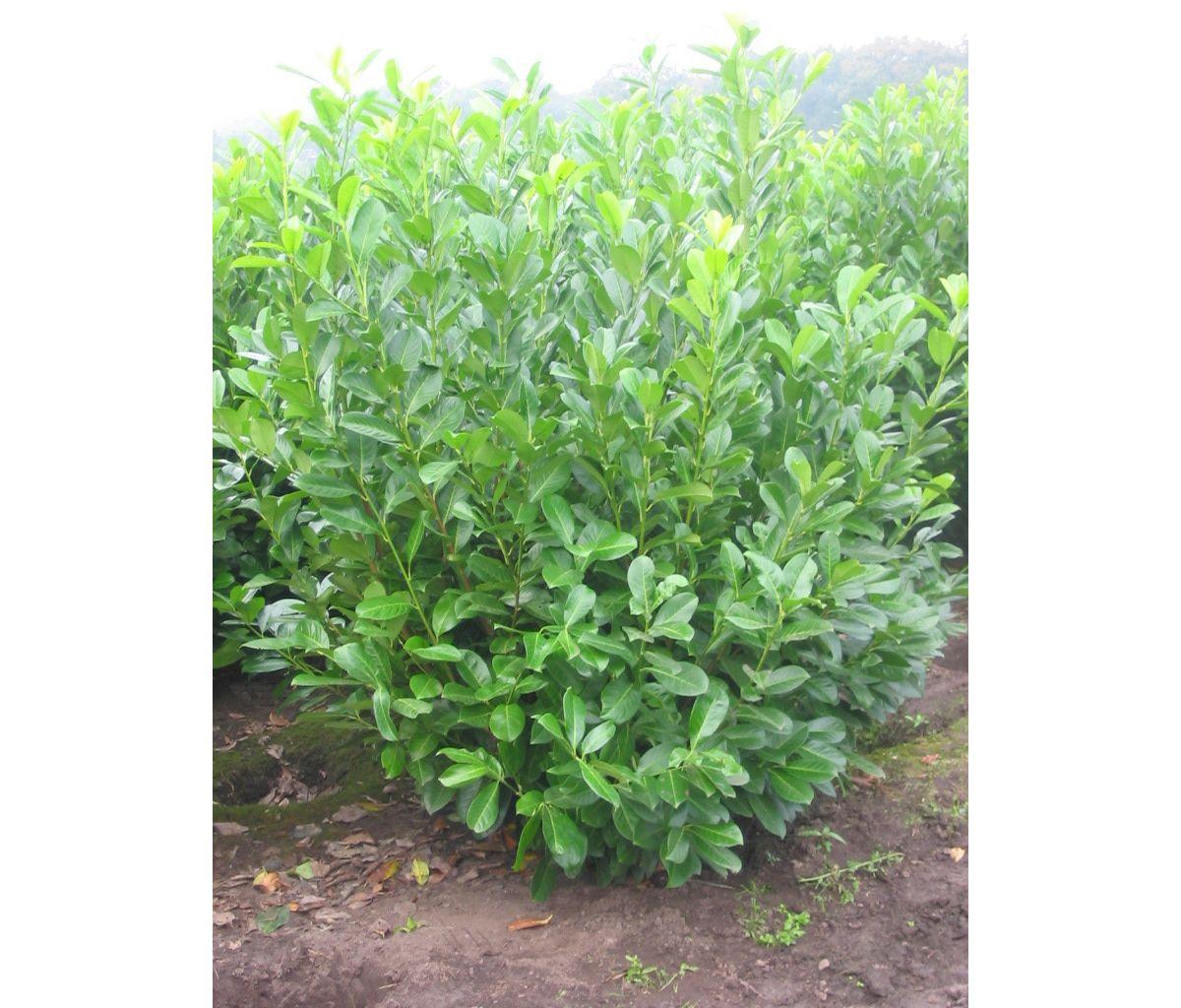 Hecke »Kirschlorbeer«, 3 Pflanzen