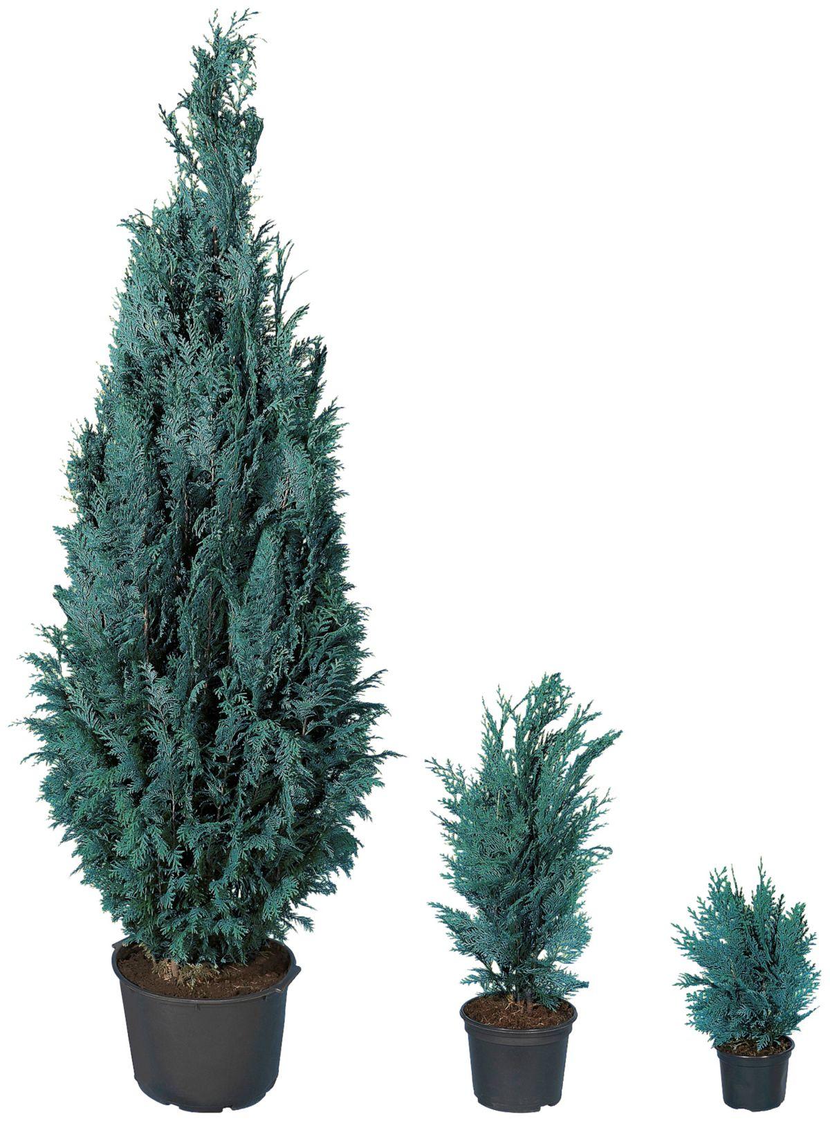 BCM Hecke »Blaue Scheinzypresse«, 4 Pflanzen
