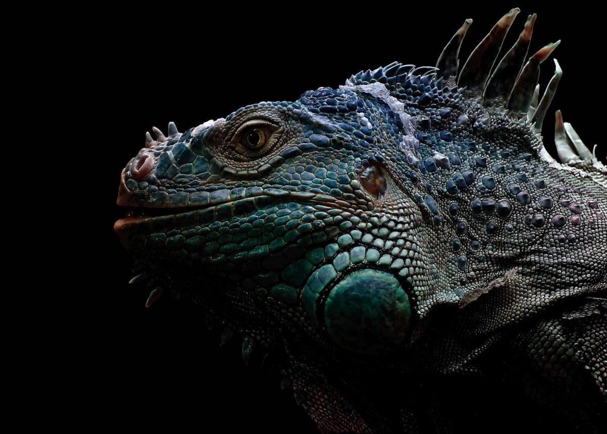 Giclee Fine Art »Iguana« 140/100 cm