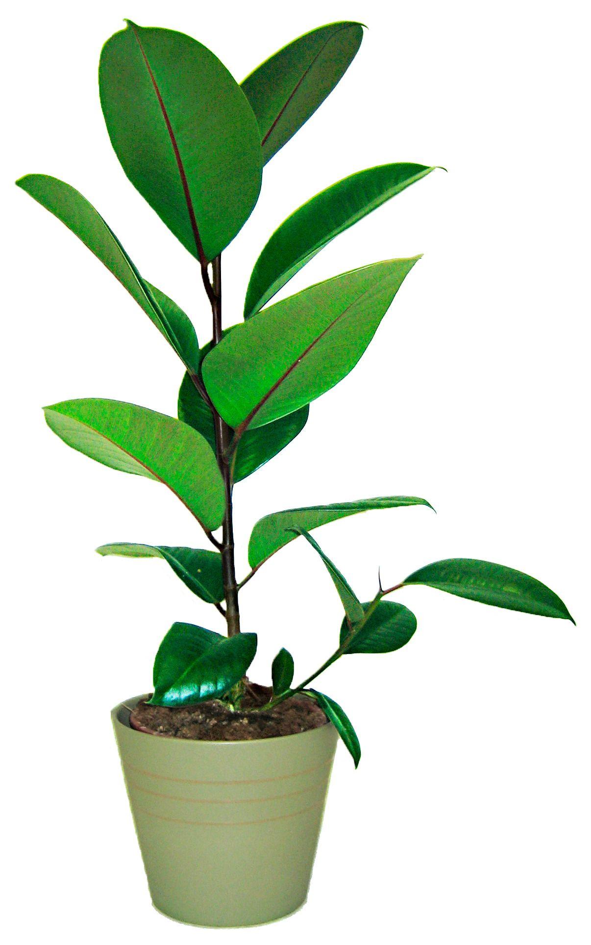 zimmerpflanze gummibaum g nstig online kaufen beim schwab. Black Bedroom Furniture Sets. Home Design Ideas