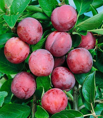 Obstbaum »Pflaume Opal« 10...