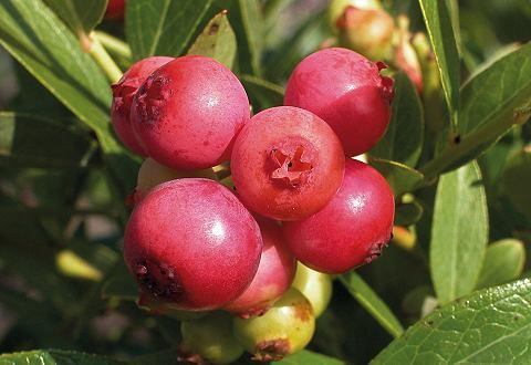 Obstbaum »Heidelbeere Pinkbeere&...