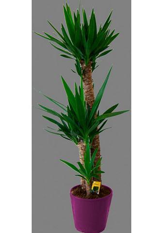 Zimmerpflanze »Riesenpalmlilie&l...