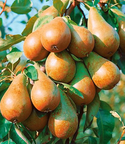 Obstbaum в U-Form »Birne«
