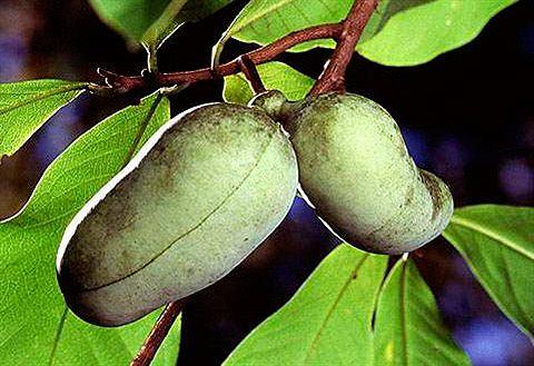 Obstbaum »Indianerbanane Paw Paw...