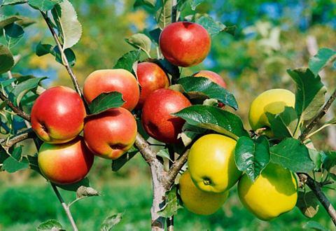 Zwergobstbaum »Apfel Croquella&l...
