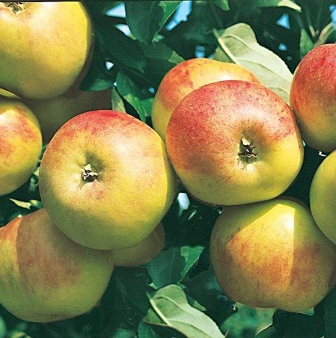 Obstbaum »Apfel Gravenstein&laqu...