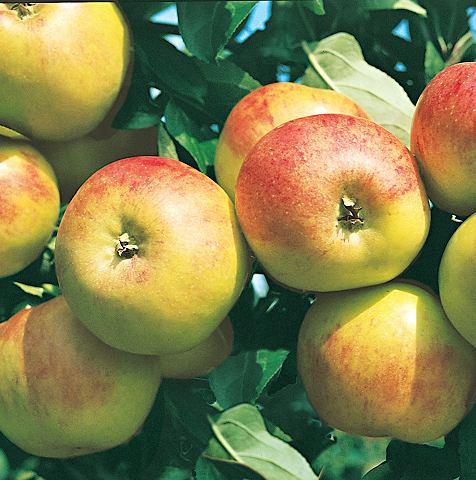 Obstbaum »Apfel Elstar«
