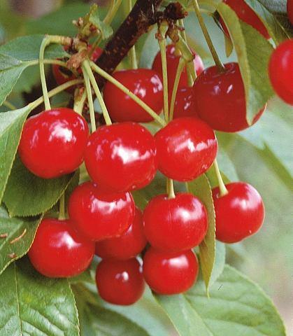 Obstbaum »Süßkirsche ...