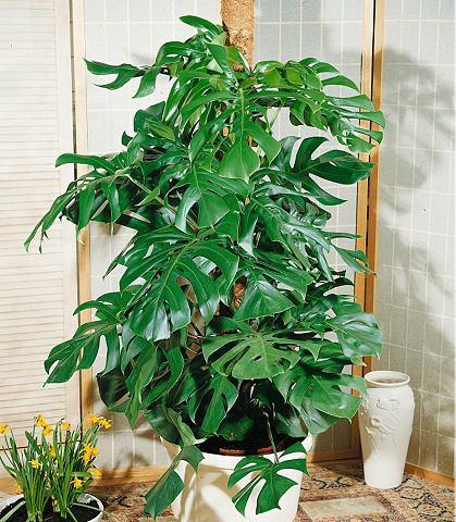 Zimmerpflanze »Fensterblatt&laqu...