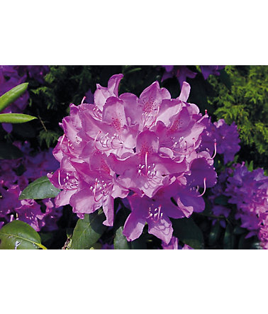 BCM Rhododendron »Roseum Elegans« - 1Pflanze