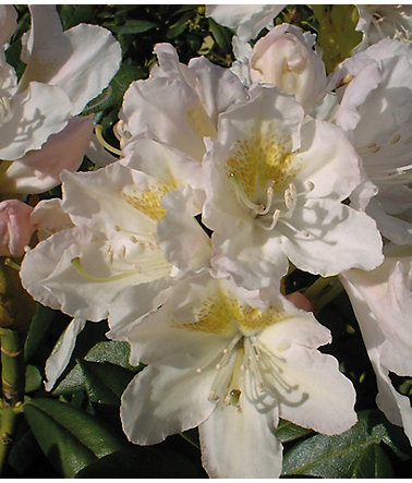 Rhododendron »Cunningham's White« - 1Pflanze