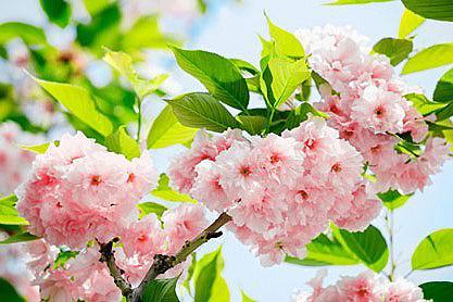 Fototapetas »Sakura Blossom« 366/254 c...