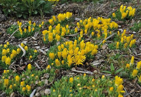 Staudengewächs »Mittagsblume« (3 Pfl.)...