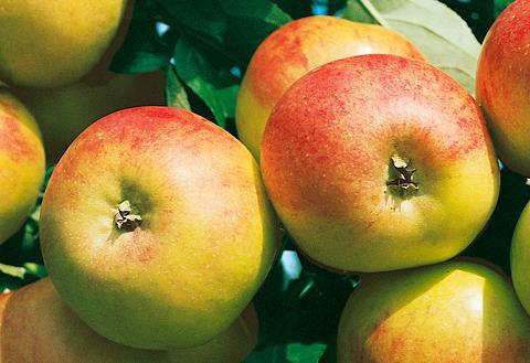 Obstbaum »Apfel Cox orange« 100 cm