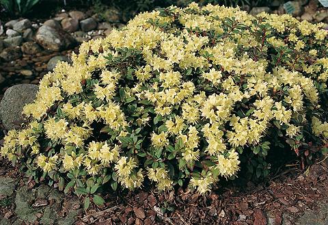 Rhododendron »Princesse Anne«