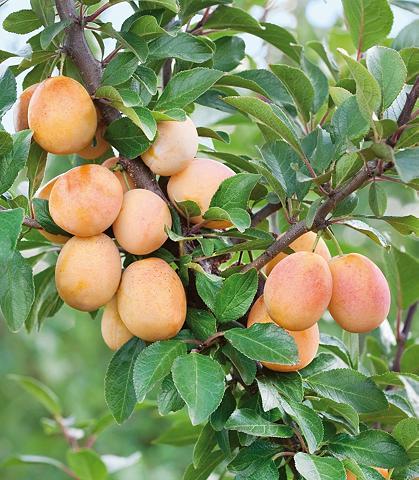 Obstbaum »Mirabellen-Aprikose Miracose...