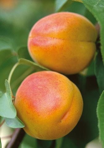 Obstbaum »Pfirsicose«