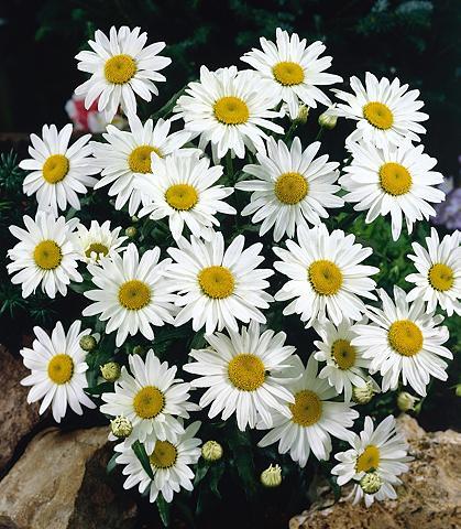 Magerite »Chrysanthemen Busch« weiß
