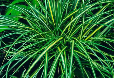 Gräser »Japansegge« (3 Pfl.)