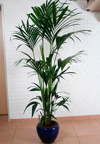 Zimmerpflanze »Kentiapalme«