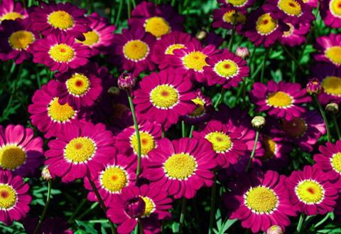Magerite »Chrysanthemen Busch« su Vazo...