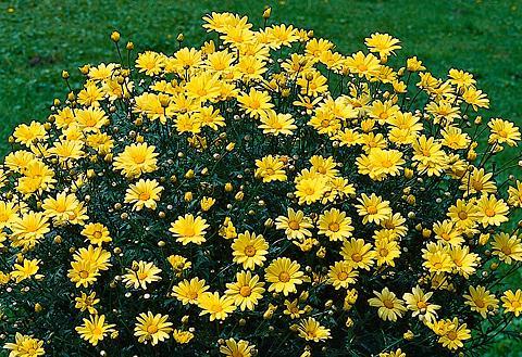 Margerite »Chrysantheme Stämmchen« ir ...