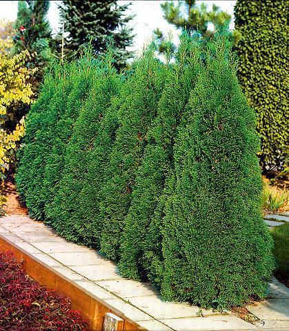 Gyvatvorė »Lebensbaum Smaragd«