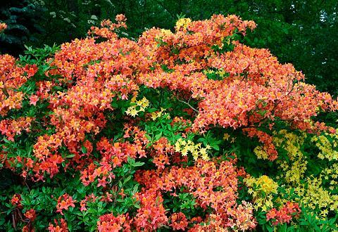 Rinkinys: Rhododendron »Azalee Gibralt...