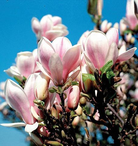 Gehölz »Magnolie soulangiana«