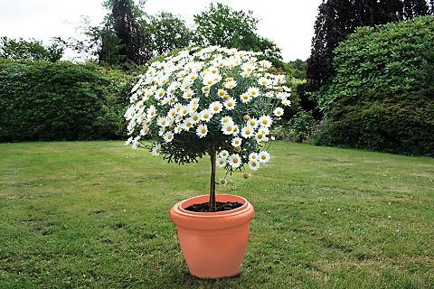 Margeriten »Chrysantheme kaip Mini-Sta...