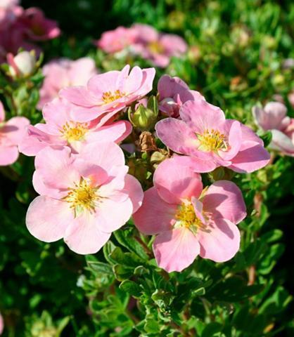 Fingerstrauch Lovely Pink (3 Pfl.)
