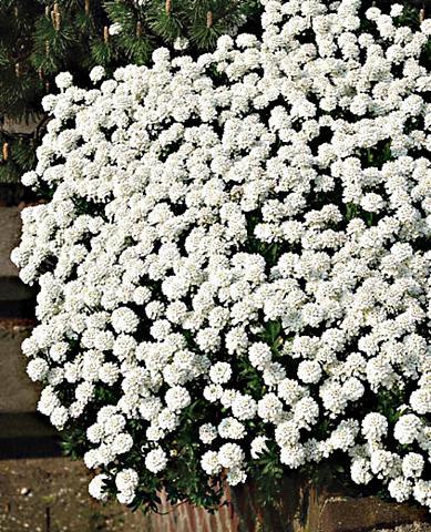 Staudengewächs »Schleifenblume« (3 Stk...